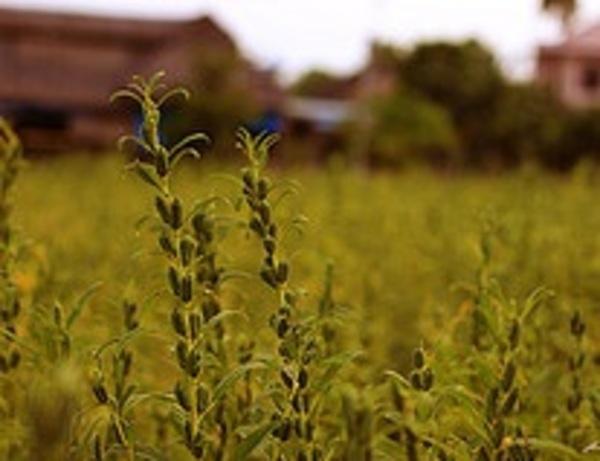 胡麻の栽培サムネイル